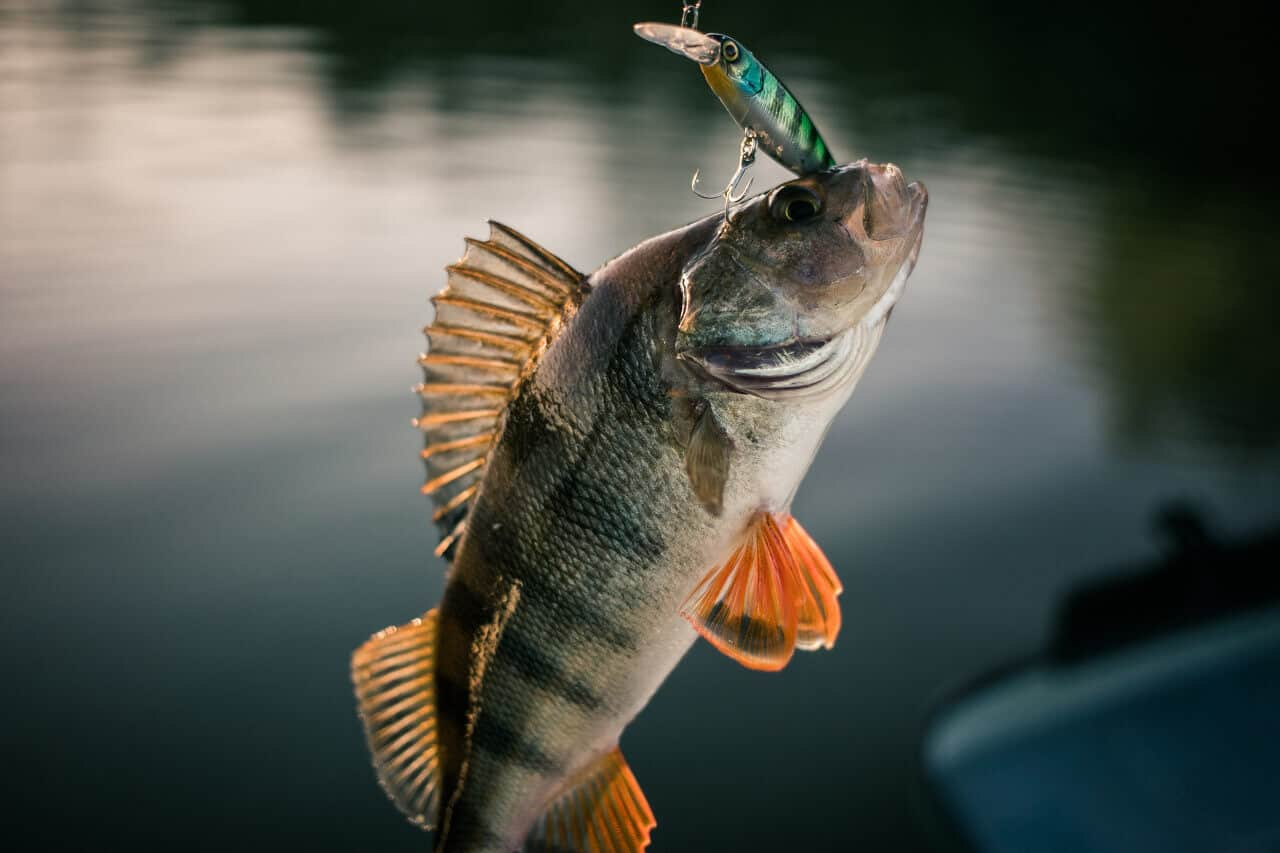 What to Feed a Perch